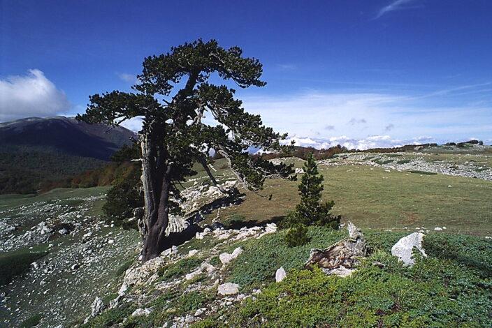 Il pino loricato, simbolo del Parco Nazionale del Pollino